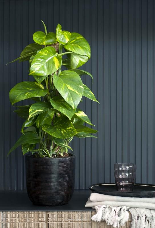 Stijlvol styling woonblog interieur en tuin inspiratie interieur scindapsus woonplant van - Zimmerpflanzen hangend ...